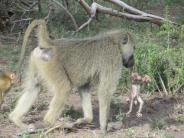 Fortpflanzung: Gewaltbereite Paviane greifen trächtige Weibchen an