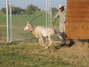 In freier Wildbahn ausgerottet: Bedrohte Säbelantilopen im Tschad ausgewildert