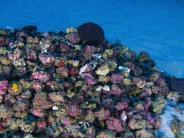 Einzigartiges Biotop: Das Amazonas-Riff und das schwarze Gold