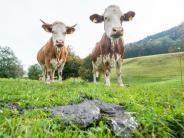 Prognose: Von Rindern produzierte Methanmenge könnte stark steigen