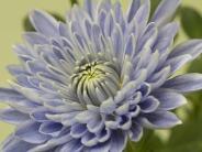 Bald blaue Rosen?: Gentech-Chrysanthemen blühen blau