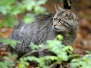 Kleine Tiger Europas: Wildkatzen erobern neue Gebiete in Deutschland