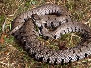 Barren-Ringelnatter: Deutschland hat nun sieben bekannte Schlangenarten