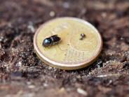 Bayern besonders betroffen: Alarm im Fichtenwald: Borkenkäfer vermehrt sich rasant