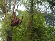 Plantagen stattRegenwald: Lebensraum für Orang-Utans schwindet