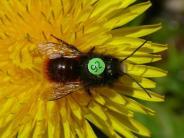 Flugradius untersucht: Bienen mit Rückennummern liefern erste Forschungsergebnisse