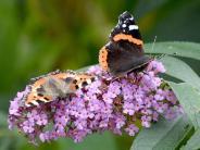 Maisanbau schuld: Biologe beklagt Verschwinden der Schmetterlinge