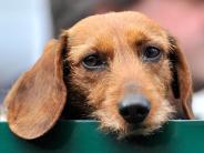 Kommunikationsversuche: Dackelblick: Hunde setzen Mimik möglicherweise gezielt ein