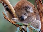 Australien: Koala an Pfosten genagelt - Empörung in Australien