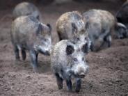 Afrikanische Schweinepest: Aus Angst vor der ASP: Ministerin fordert nationale Maßnahmen